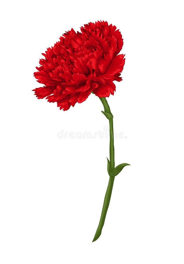 Schöne rote Gartennelke getrennt auf weißem Hintergrund lizenzfreie abbildung