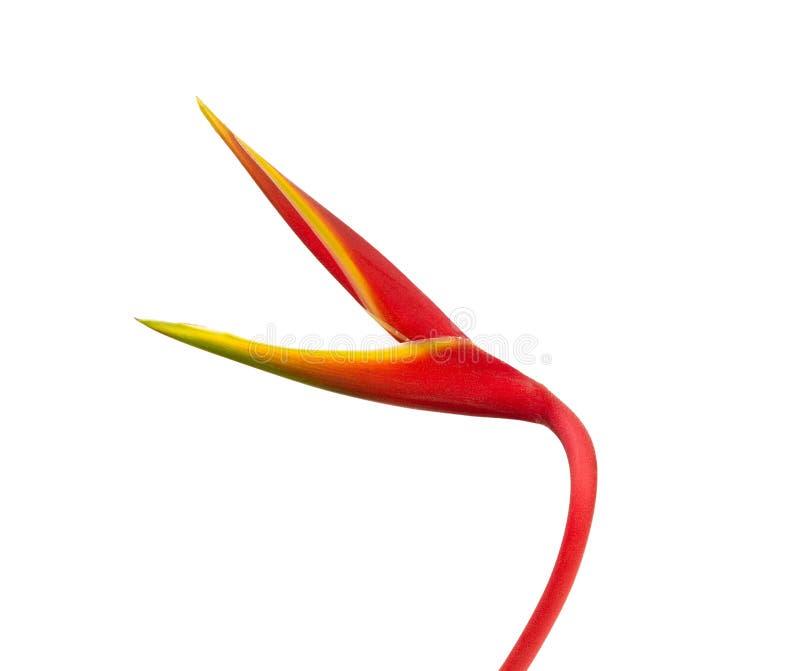 Schöne rote heliconia Blume, tropische Blume lokalisiert auf Whit stockfoto