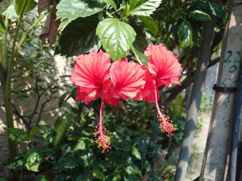 Schöne rote Hibiscus-Blumen lizenzfreie stockbilder