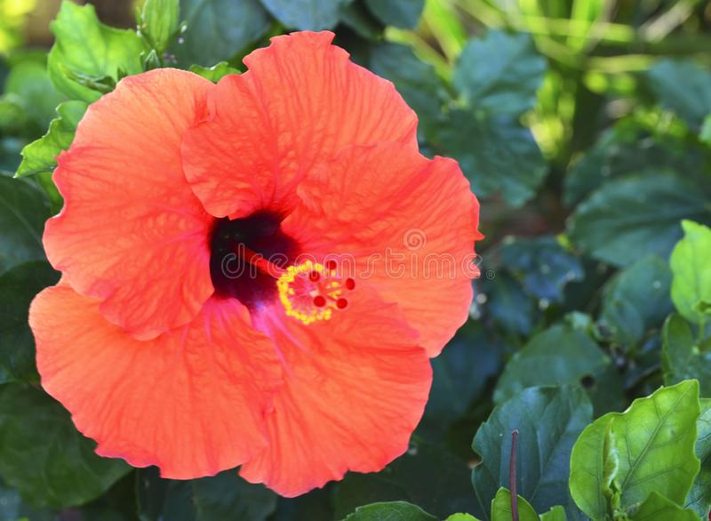 Schöne rote Hibiscusblumen China stiegen, Gudhal, Chaba, Schuhblume im Garten von Teneriffa, Kanarische Inseln, Spanien stockbild