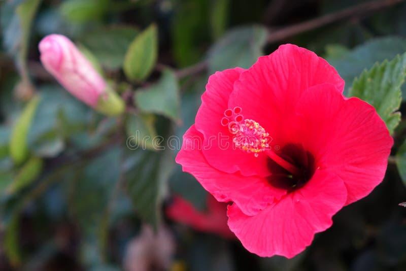Schöne rote Hibiscusblumen in voller Blüte im corralejo Fuerteventura Spanien lizenzfreie stockbilder