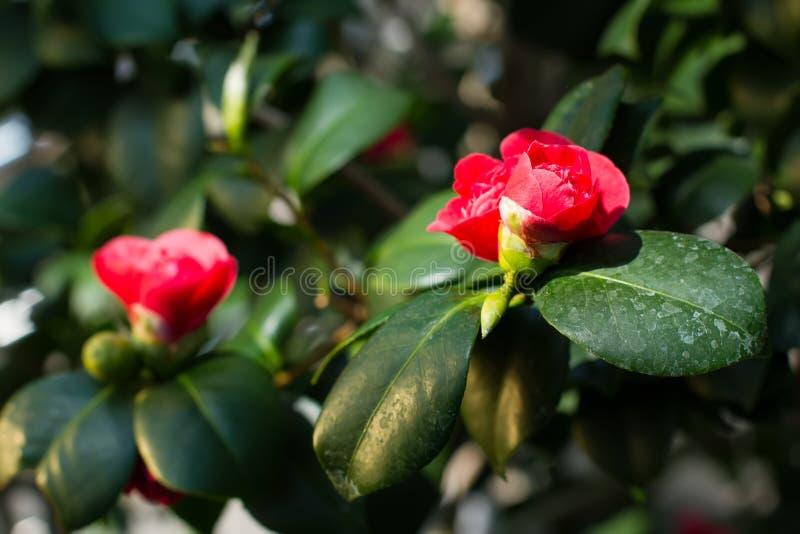 Schöne rote Kamelienblume lizenzfreie stockbilder
