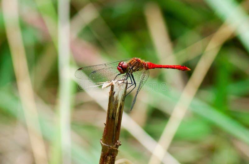 Schöne rote Libelle sitzt stockfotos