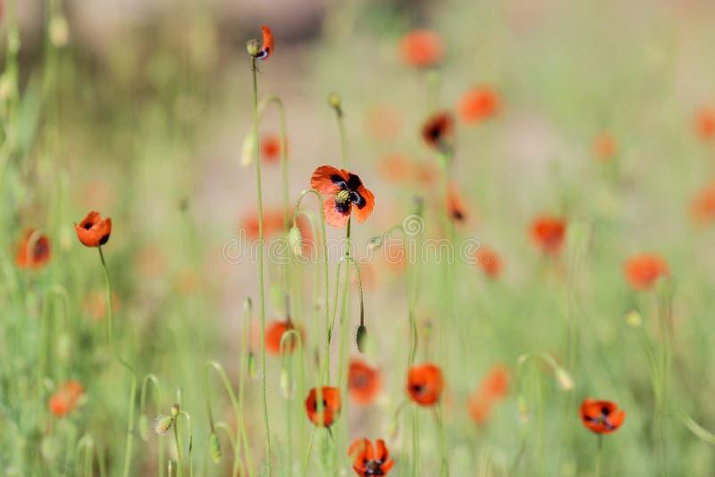 Schöne rote Mohnblumen auf einem Feld im Sommer stockbild