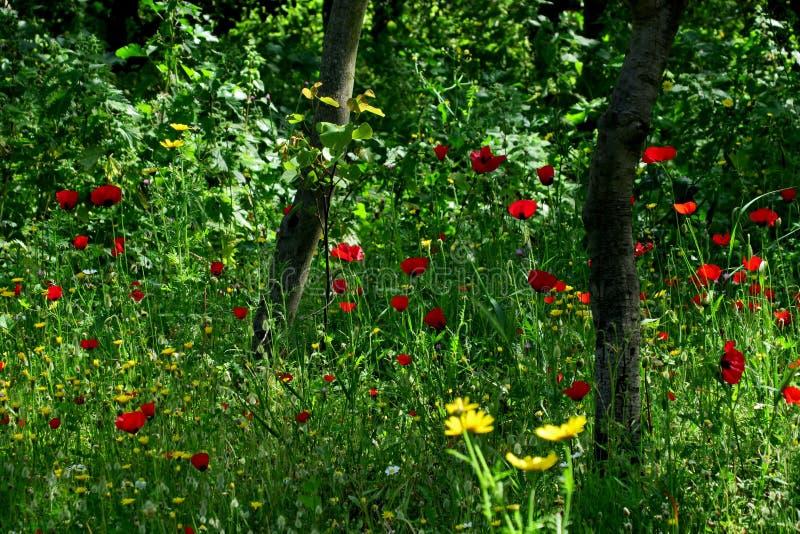 Schöne rote Mohnblumen im hohen Gras in der Waldnahaufnahme stockfotos