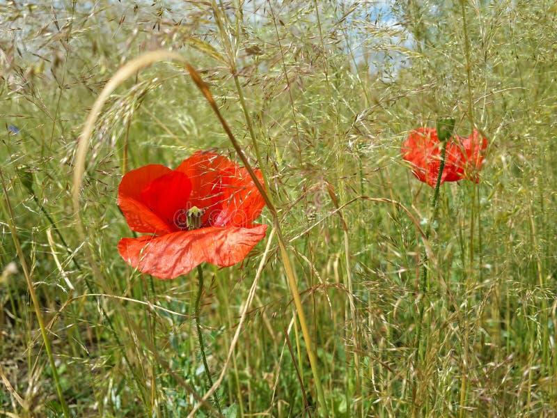 Schöne rote Mohnblumen unter Sommergras stockfotos