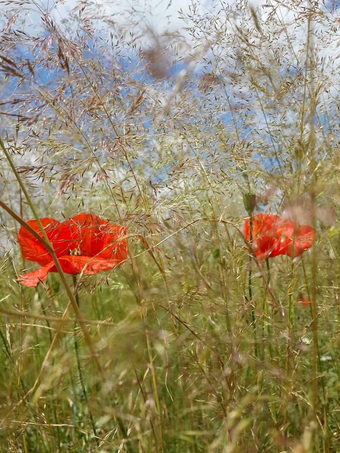 Schöne rote Mohnblumen unter Sommergras stockbilder