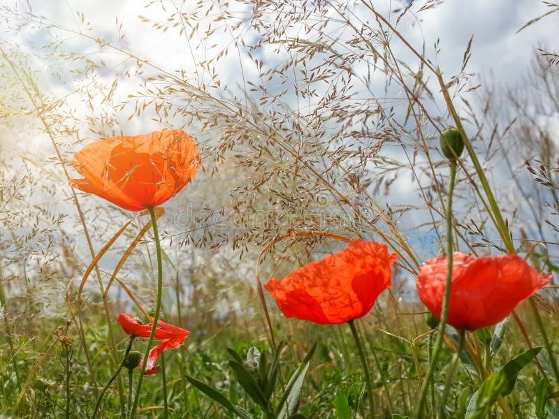 Schöne rote Mohnblumen unter Sommergras stockfoto