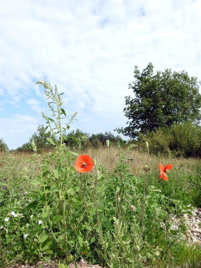 Schöne rote Mohnblumenblume auf dem Gebiet, Litauen stockfotografie