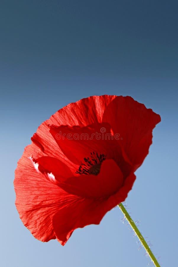 Schöne rote Mohnblumenblume im Sommer lizenzfreies stockfoto