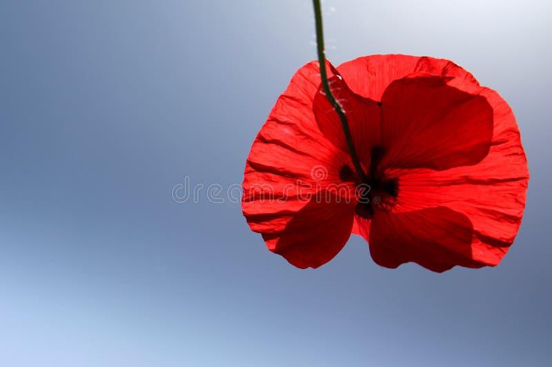 Schöne rote Mohnblumenblume im Sommer stockbild