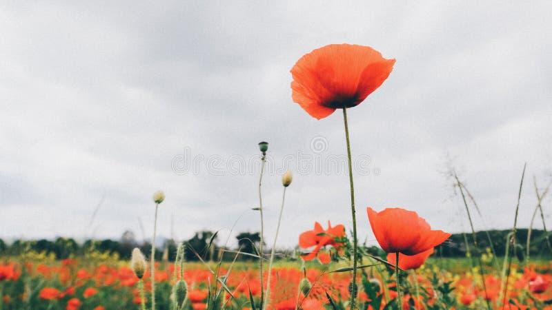 Schöne rote Mohnblumenblumen in der Blüte, bewölkter Himmel, Sommerwiese lizenzfreie stockfotografie