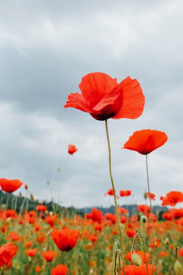 Schöne rote Mohnblumenblumen in der Blüte, bewölkter Himmel, Sommerwiese stockfotos
