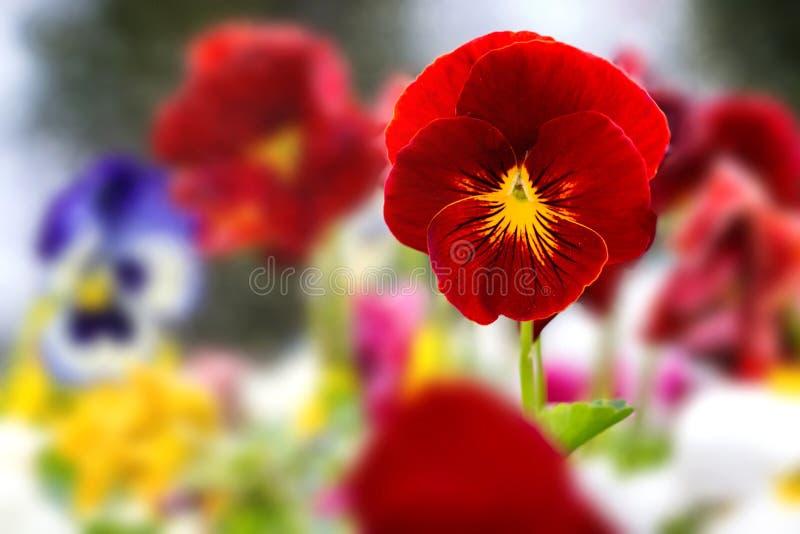 Schöne rote Pansies stockbild