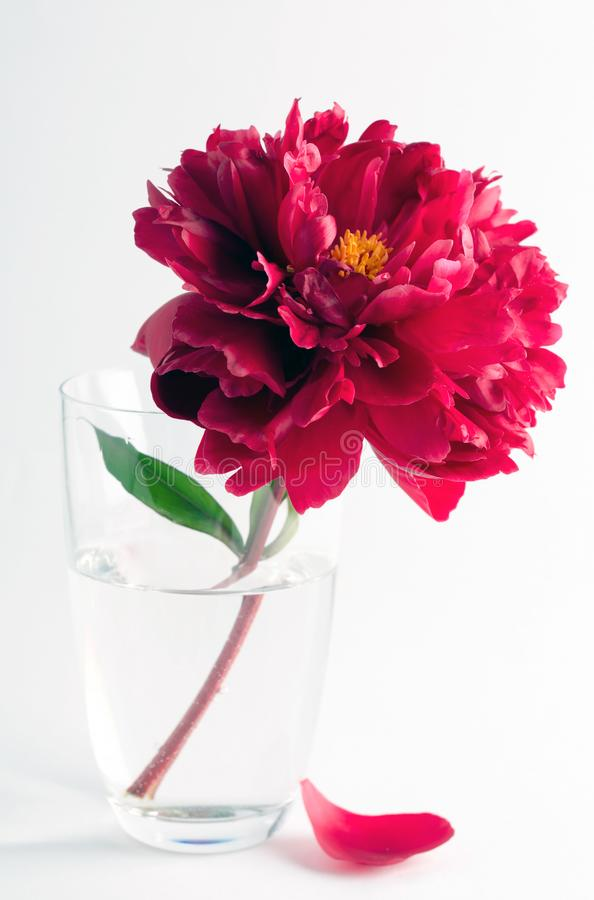 Schöne rote Pfingstrose in einem Glasvase stockbilder