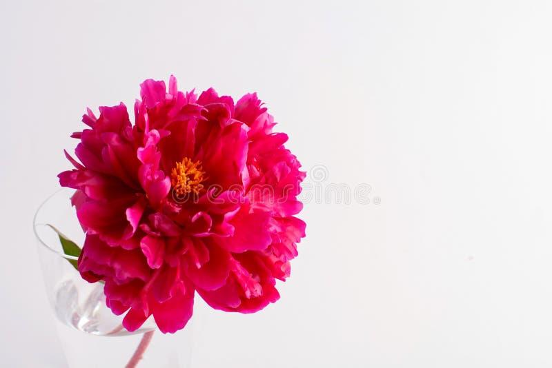 Schöne rote Pfingstrose in einem Glasvase lizenzfreie stockfotografie