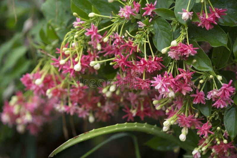 Schöne rote Rangun-Kriechpflanzenblumen lizenzfreie stockfotografie