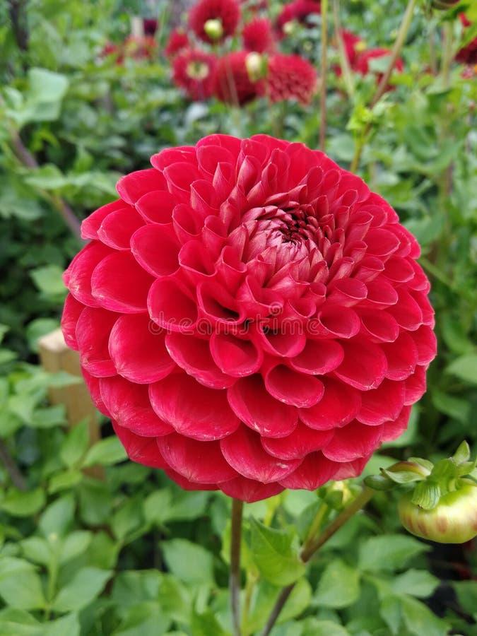 Schöne rote rosa Dahlienblume lizenzfreie stockbilder