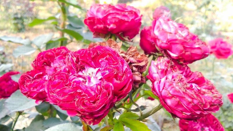 Schöne rote Rose mit schönem natürlichem Hintergrund stockbilder