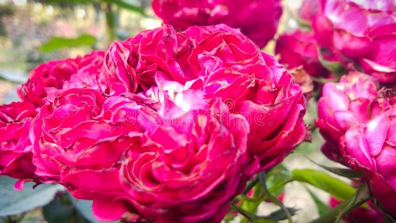 Schöne rote Rose mit schönem natürlichem Hintergrund lizenzfreie stockfotos