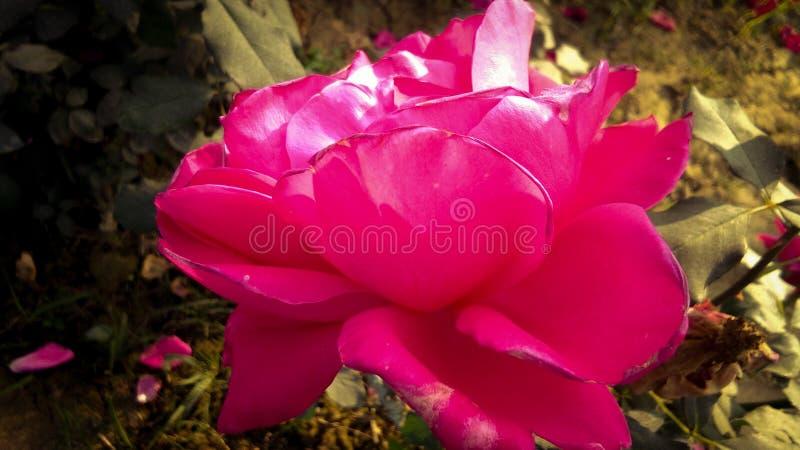 Schöne rote Rose mit schönem natürlichem Hintergrund lizenzfreies stockbild