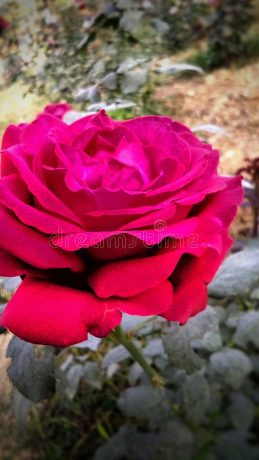 Schöne rote Rose mit schönem natürlichem Hintergrund lizenzfreie stockfotografie