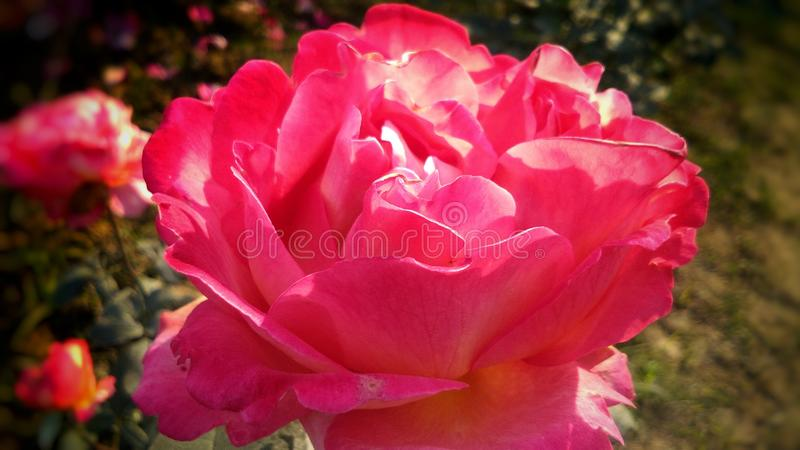 Schöne rote Rose mit schönem natürlichem Hintergrund lizenzfreies stockfoto