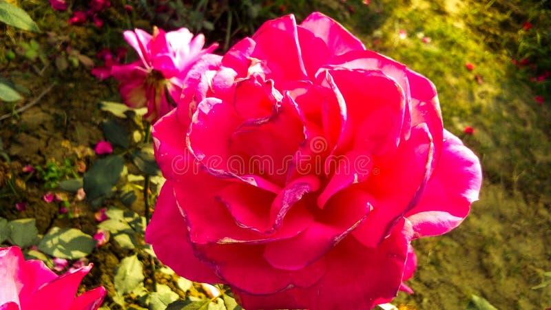 Schöne rote Rose mit schönem natürlichem Hintergrund stockfotografie