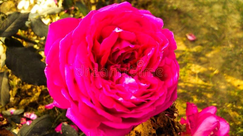 Schöne rote Rose mit schönem natürlichem Hintergrund lizenzfreie stockbilder