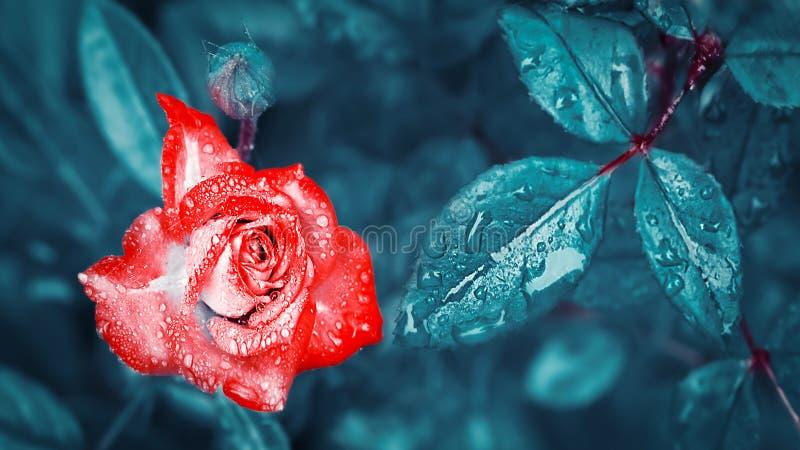 Schöne rote Rose mit Tropfen des Taus und des Regens auf dem Hintergrund von fantastischen blauen Blättern Magischer Garten stockfoto