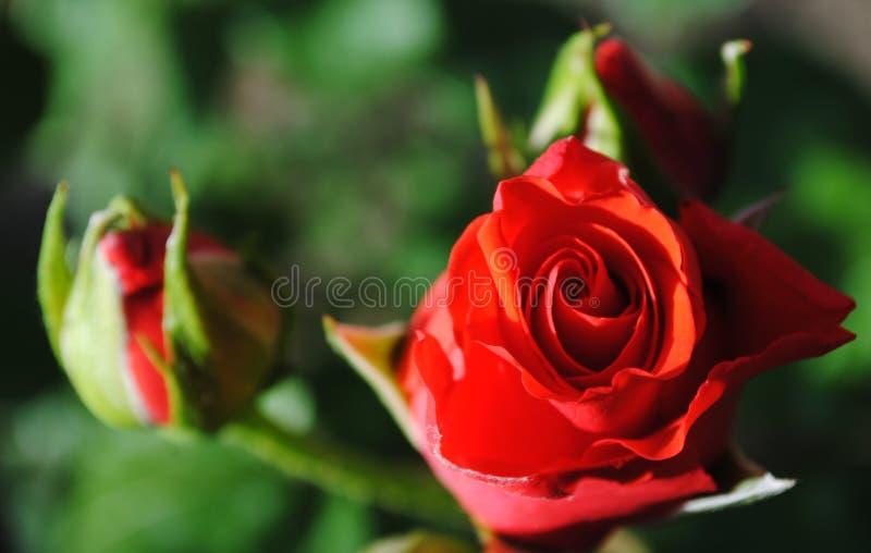 Schöne rote Rosen stockfotografie