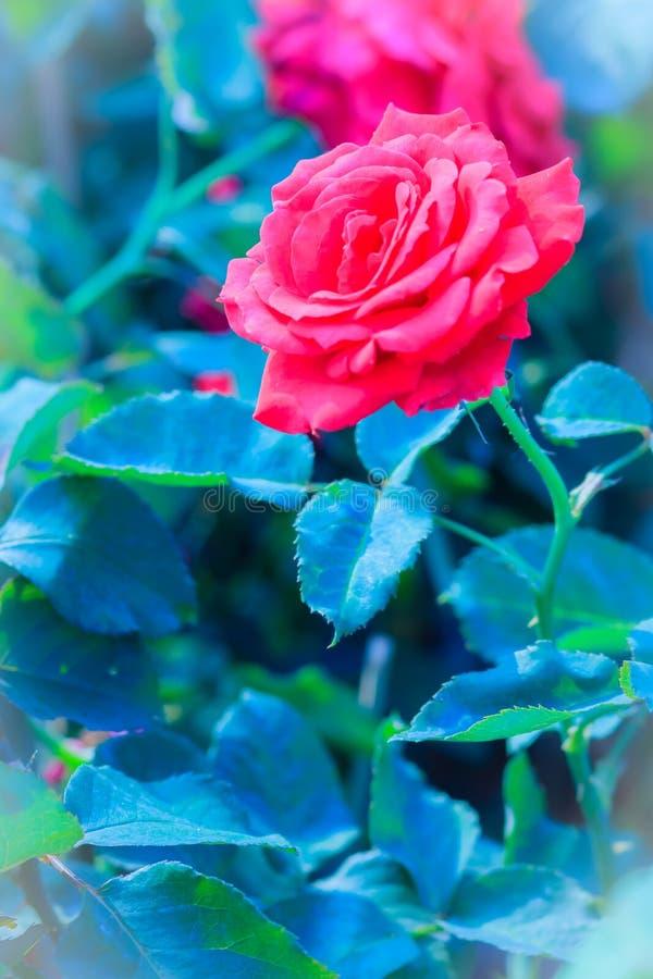 Schöne rote Rosen-Blume, die auf einem Busch im Rosengarten blüht lizenzfreie stockfotografie