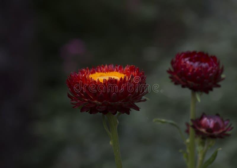 Schöne rote und gelbe Blumen in einer Kindertagesstätte nahe Gangtok, Sikkim, Indien lizenzfreies stockbild