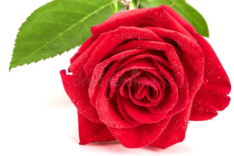 Schöne Rotrose mit Tautropfen lokalisiert auf weißem Hintergrund stockfoto