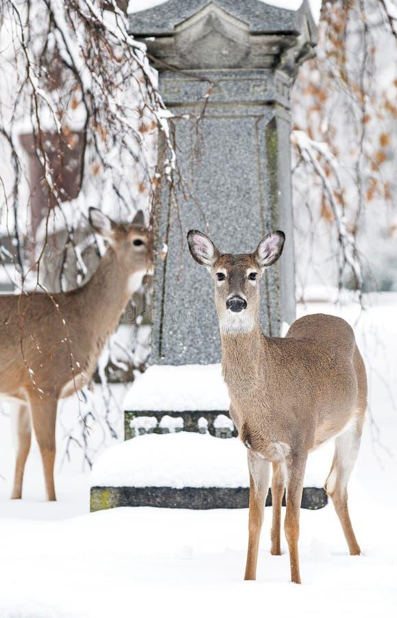 Schöne Rotwild in der lokalen Kirchhof-Winterzeit lizenzfreie stockfotos