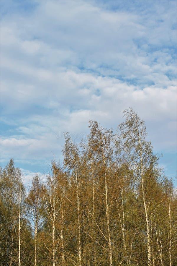 Schöne russische weiße Birken lizenzfreies stockfoto