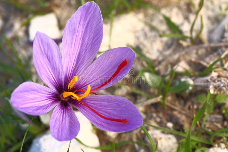 Schöne Safranblumen stockfotografie