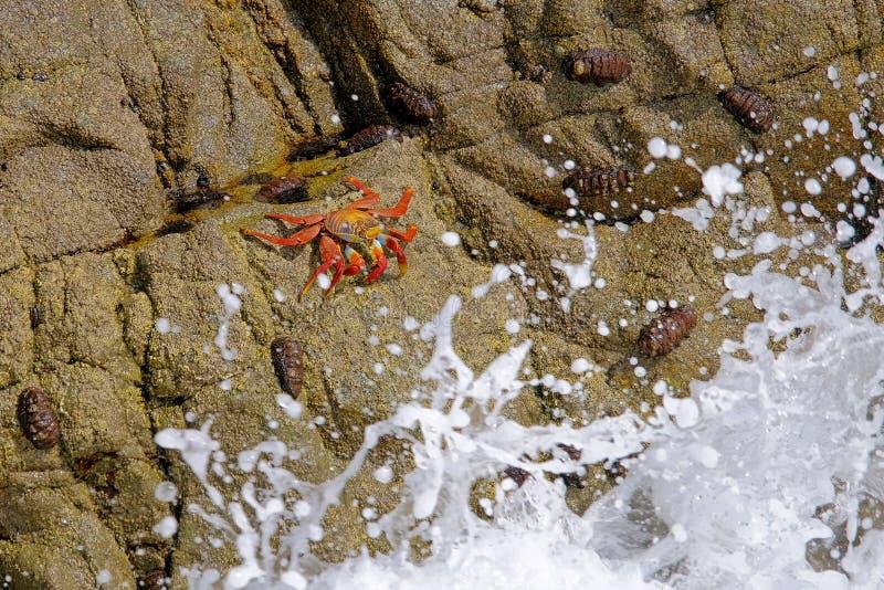 Schöne Sally Lightfoot Crab, Grapsus-grapsus, auf Felsen, Küste des Pazifischen Ozeans, Tocopilla, Chile lizenzfreie stockfotos