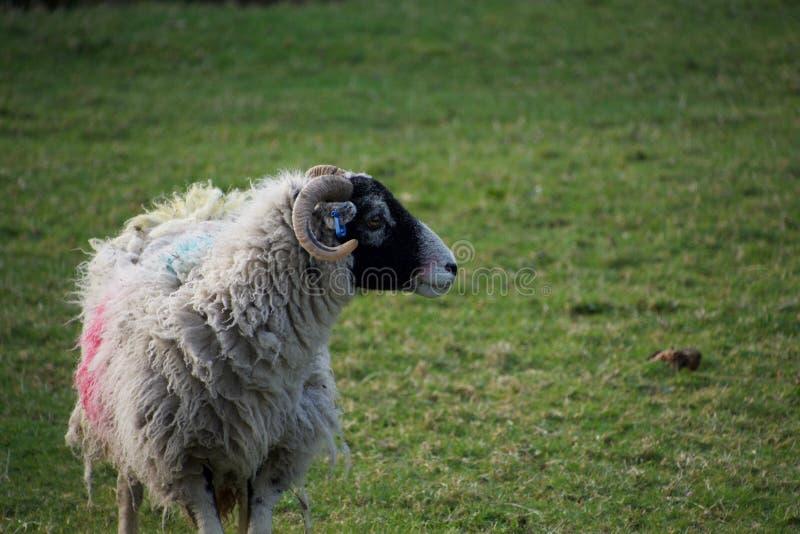Schöne Schafe auf einem Gebiet; mit Hörnern und schwarzem Gesicht lizenzfreie stockfotografie