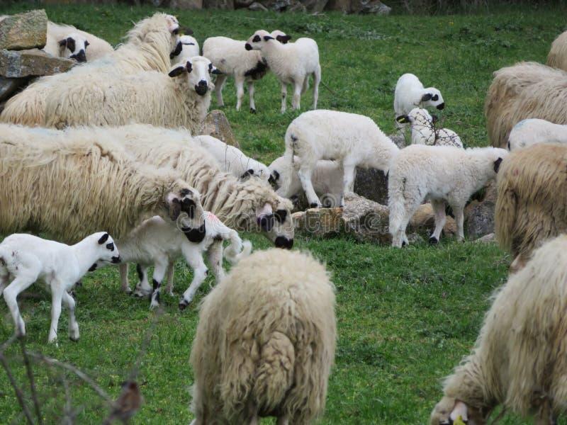 Schöne Schafe, die auf dem Gebiet glücklich, frei zu sein weiden lassen stockbild