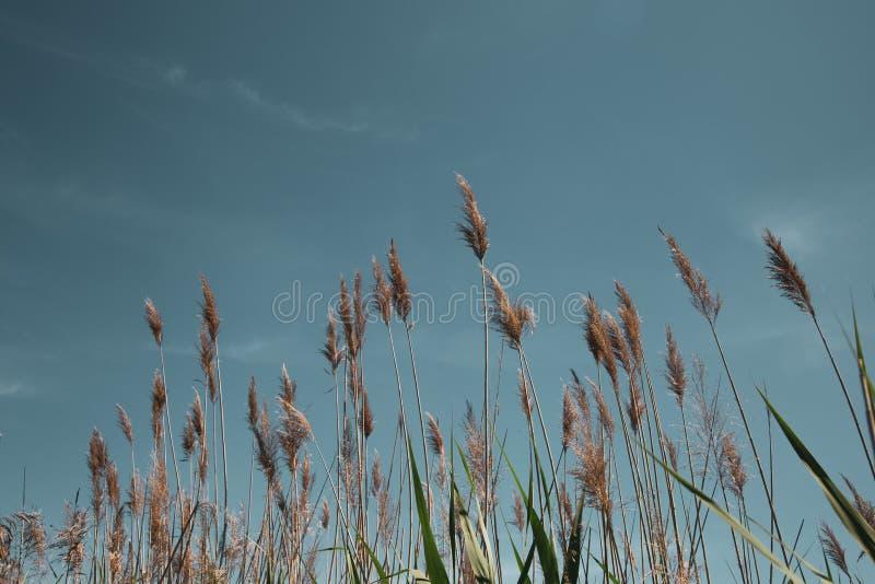 Schöne Schilfe auf Hintergrund der blauen Himmel lizenzfreie stockfotos