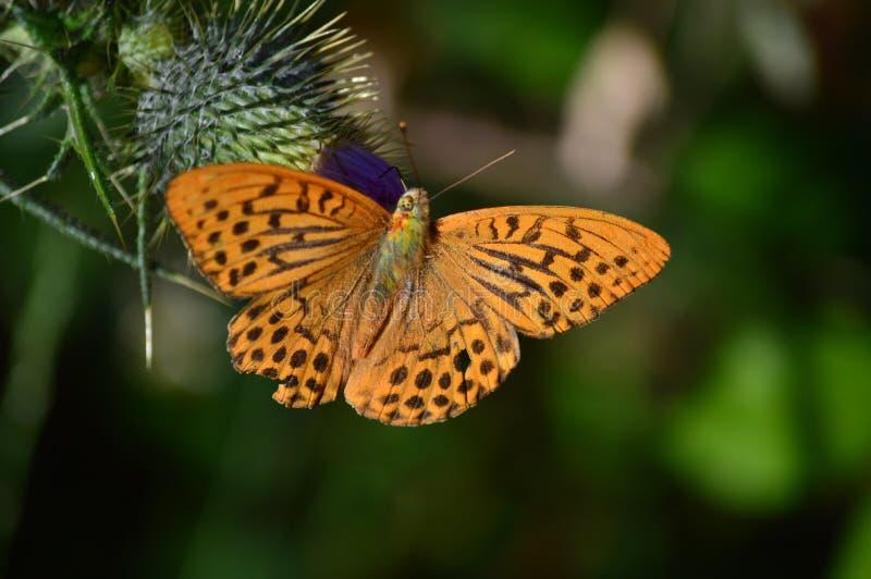 Schöne Schmetterlings-Haltung auf einer Blume in den Wiesen der Berge von Galizien Reise-Tier-Natur stockfotografie