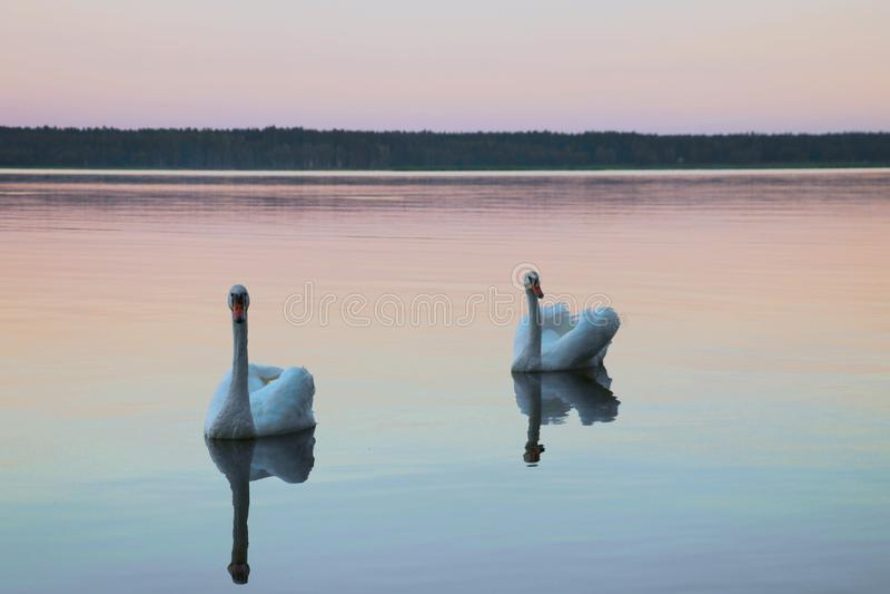 Schöne Schwäne schwimmen auf dem See während des Sonnenuntergangs, freier Raum lizenzfreie stockfotos