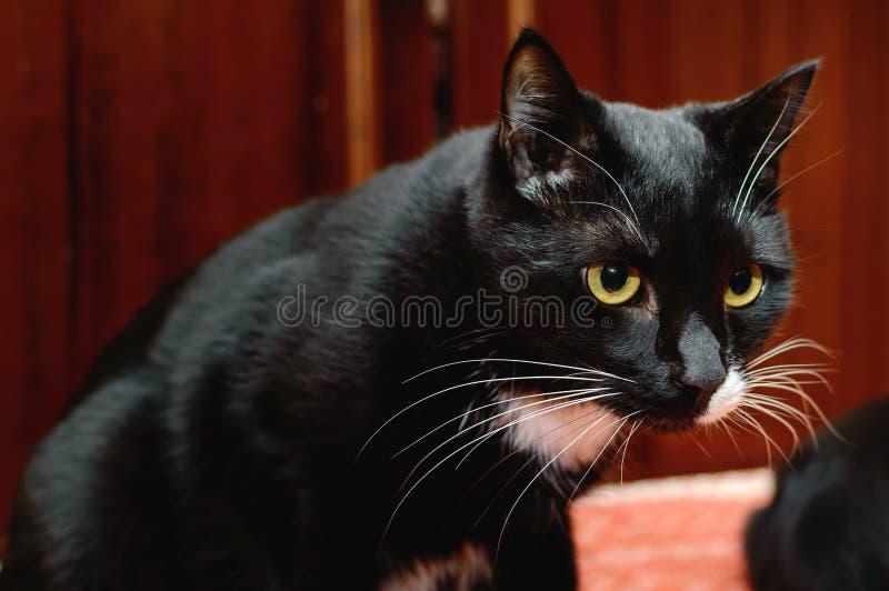 Schöne schwarze Katze mit gelben Augen lizenzfreie stockfotografie