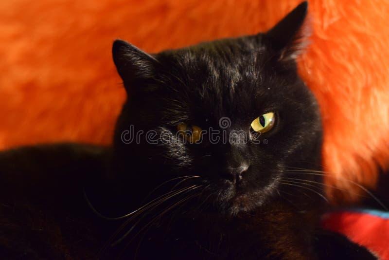 Schöne schwarze Katze mit gelben Augen lizenzfreies stockfoto