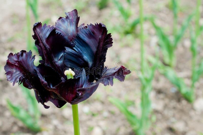 Schöne schwarze Tulpe lizenzfreie stockfotografie