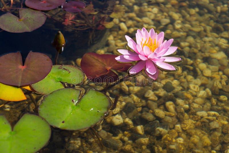 Schöne Seerosen pflanzt Entstörungswasser in natürlichem Schwimmenteich lizenzfreies stockbild
