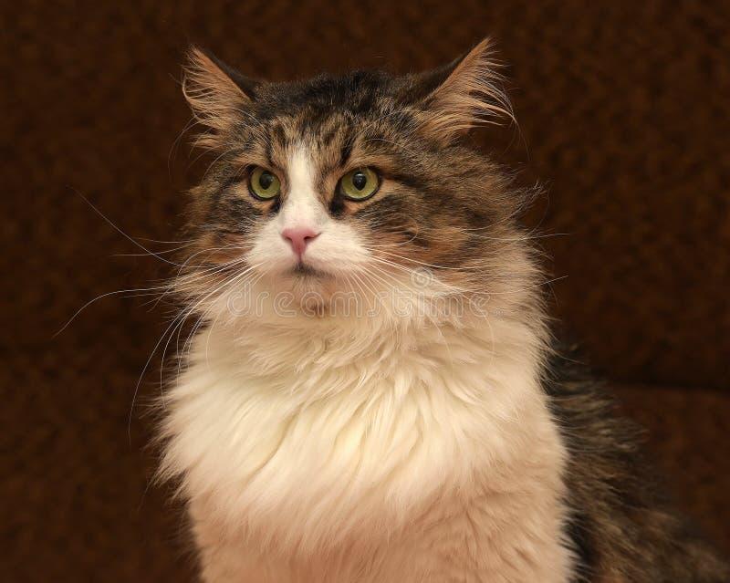 Schöne sibirische Katze stockfotografie