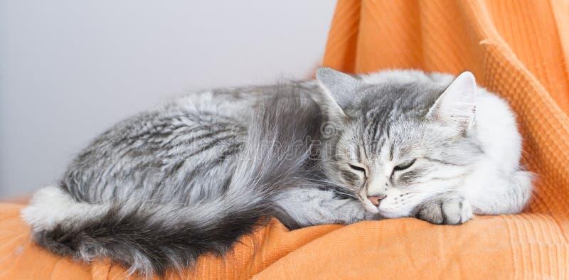 Schöne silberne Katze der sibirischen Zucht im Haus, liegend auf Th stockbild