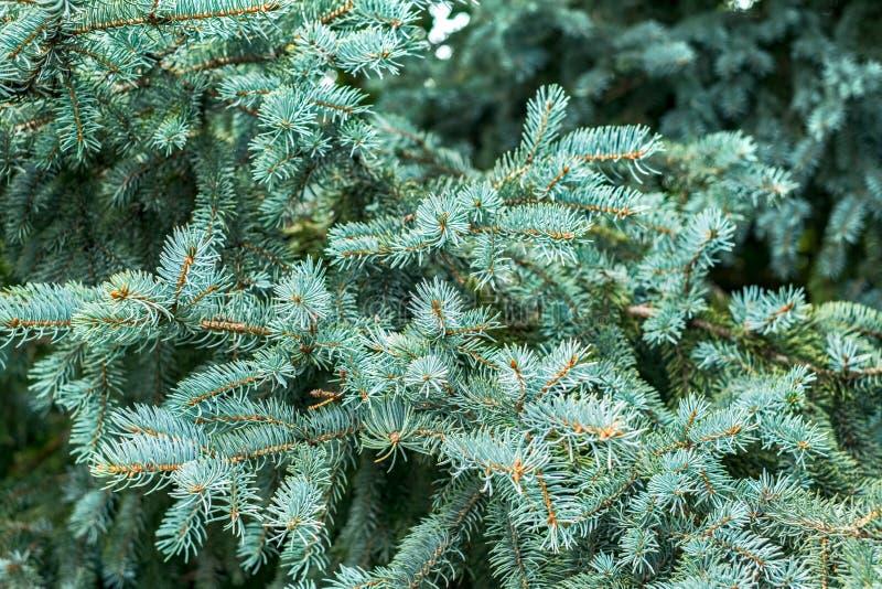 Schöne Silbertannenbaumzweige stockfotos